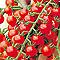 Graines de Tomate Cerise