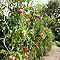 Tuteur spirale à tomates Nortene 180 cm