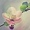 Toile imprimée Fleur cerisier 30 x 30 cm