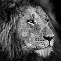 Tableau en verre Lion 50 x 50 cm