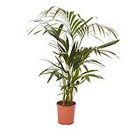Palmier Kentia, 19cm