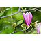 Magnolia 23cm