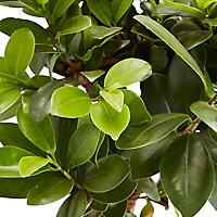 Bonsaï Ficus Ginseng 17cm