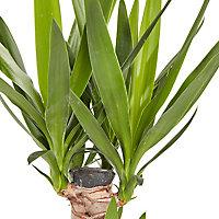 Yucca moyen, 19cm