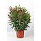 Laurier rose pot  h. 80/100 cm 15 L