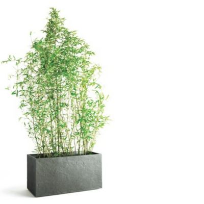 bambou phyllostachys aureus castorama. Black Bedroom Furniture Sets. Home Design Ideas