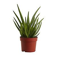 Aloe vera 12cm