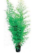 Bambou Ø 26 cm