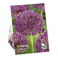 Bulbe d'Allium Purple sentation (x 8)