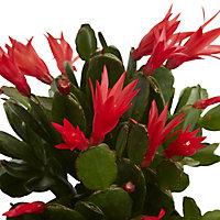 Cactus de Pâques rose, 12cm