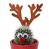 Cactus en pot rennes 5,5 cm