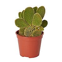 Cactus oreilles de lapin 12cm