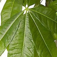 Châtaignier de Guyane 24cm