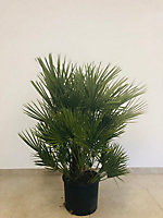 Chamaerops humilis 60-80cm 15L