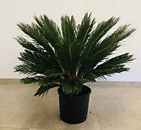 Cycas revoluta 60-80cm 12L