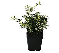 Euonymus, pot 17 cm