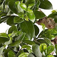 Ficus microcarpa Ginseng en forme de S, 20cm
