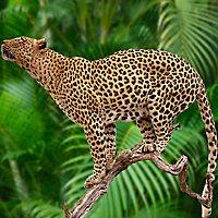 Impression sur plexi Jaguar 80 x 60 cm