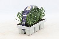 Lavande pack de 6 plantes