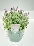 Lavande Stoechas blanche/roze 2L