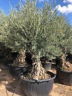 Olivier bonsai circ TR 120 140