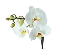 Orchidée blanche 3 tiges avec pot 12 cm