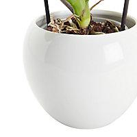 Orchidée Grandiflora blanche 1 tige avec pot en céramique 14cm