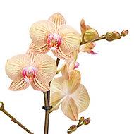 Orchidée papillon 1 tige, 12cm, Assortiment