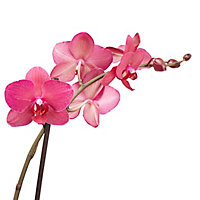Orchidée papillon 2 tiges, 12cm, Assortiment
