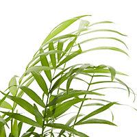 Palmier de montagne 12cm