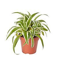 Petite plante araignée 12cm