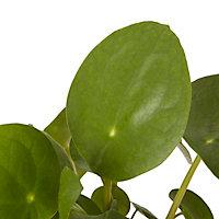 Plante du missionnaire 12cm