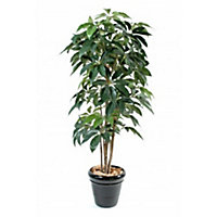 Schefflera amata h.180 cm
