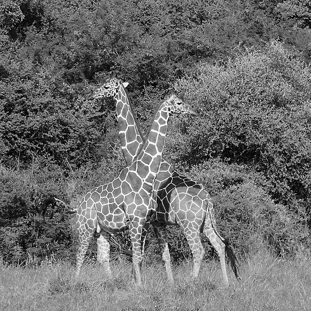 Tableau En Verre Girafes 50 X 50 Cm Castorama