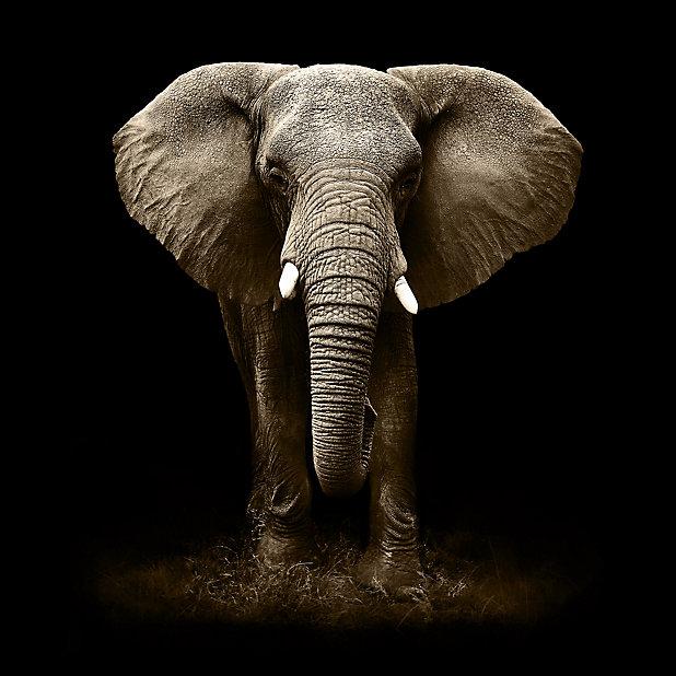 Tableau En Verre Elephant 50 X 50 Cm Castorama