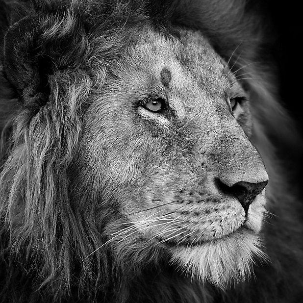 Tableau En Verre Lion 50 X 50 Cm Castorama