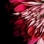 Verre imprimé Glassart chrysanthème 30x30cm