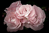 Verre imprimé Glassart pink flowers 45x65cm