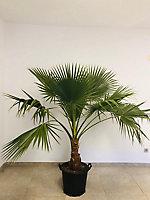 Washingtonia robusta 60-80cm 15L